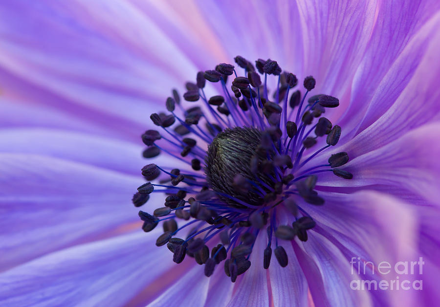 Macro of Lavender Purple Anemone by Em Witherspoon