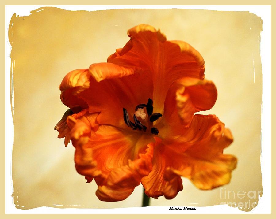 Photo Photograph - Macro Parrot Tulip by Marsha Heiken