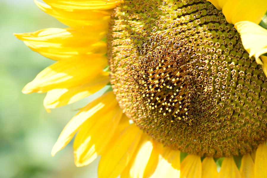 Sunflower Photograph - Macro Photography Of Sunflower by Miomir Magdevski
