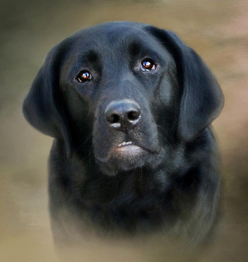 Dog Photograph - Macy-portrait Of A Black Lab by Stephanie Calhoun