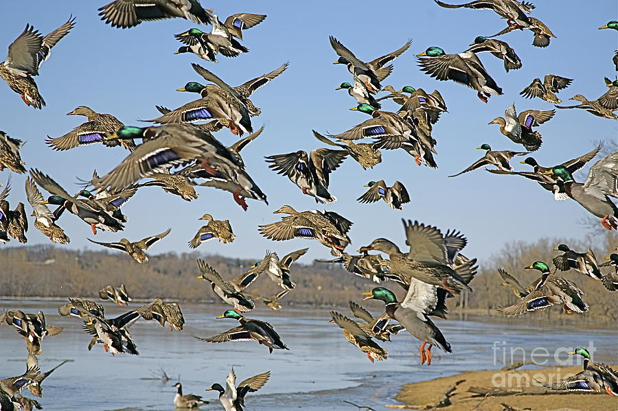 Bird Photograph - Mad Rush by Robert Pearson