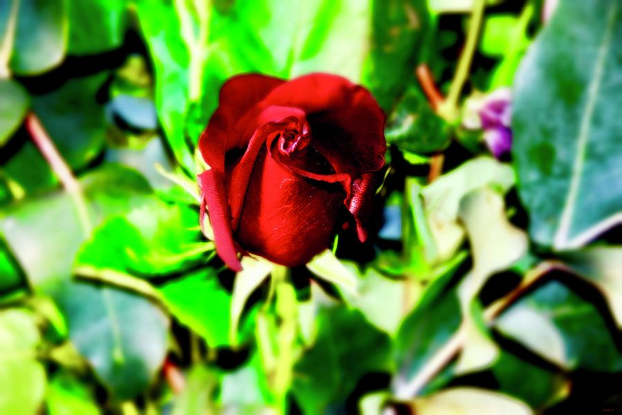 8e78a46ac95 Mademoiselle Rose Photograph by Atelier M-EGVA
