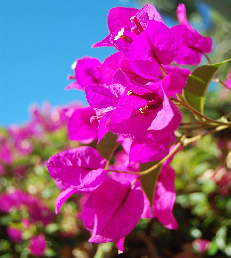 Bougainvillea Photograph - Magenta Bougainvillea by Jean Booth