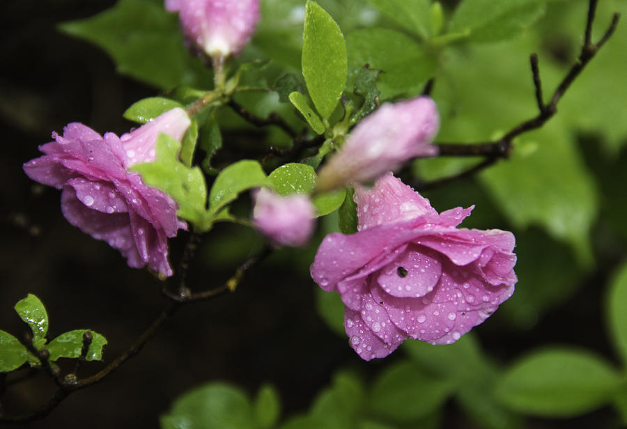 Blossoms Photograph - Magenta In The Wild by Paul Shefferly