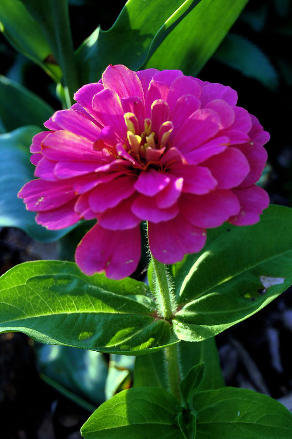 Flower Photograph - Magenta by Jame Hayes
