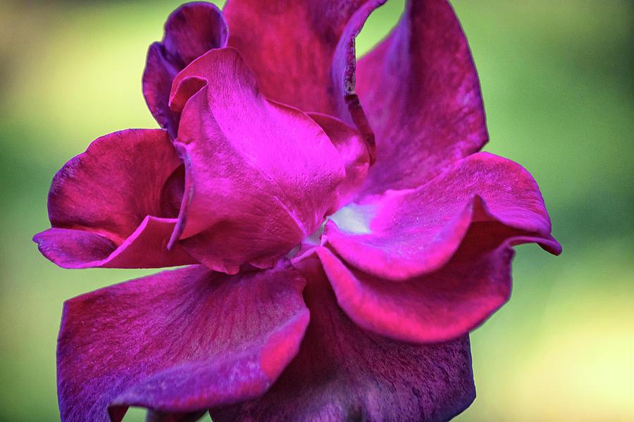 Magenta Rose Photograph