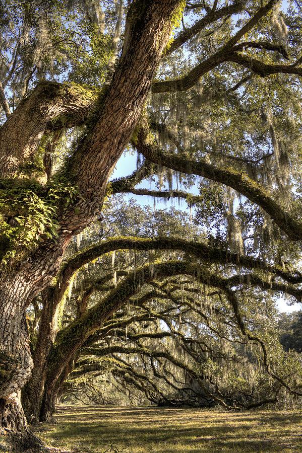 Live Oak Photograph - Magnificant Live Oak Trees Color by Dustin K Ryan