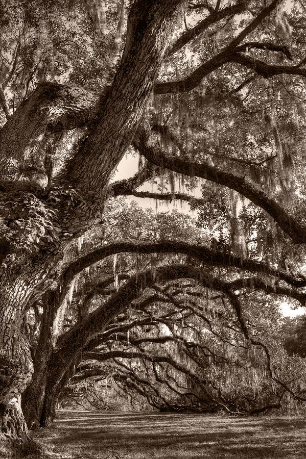 Live Oak Photograph - Magnificant Live Oak Trees  by Dustin K Ryan
