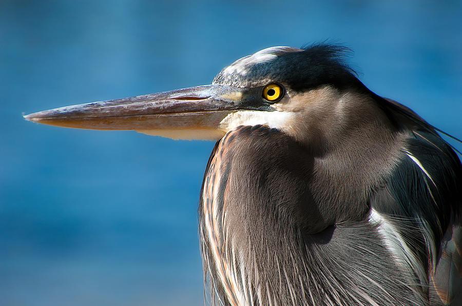 Bird Photograph - Magnificent Blue Heron by Rich Leighton
