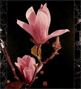 Floral Painting - Magnolia 01 by Edd Cox