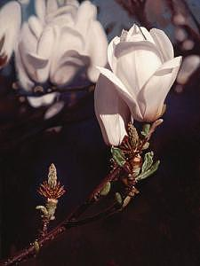 Floral Painting - Magnolia 04 by Edd Cox