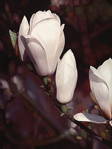 Floral Painting - Magnolia 05 by Edd Cox