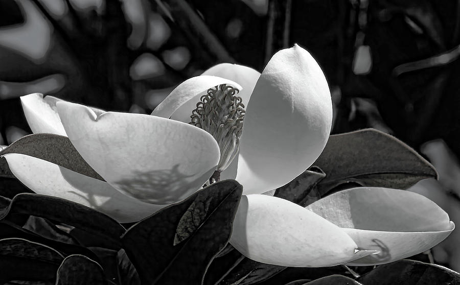 Magnolia Photograph - Magnolia Blossom B W by HH Photography of Florida