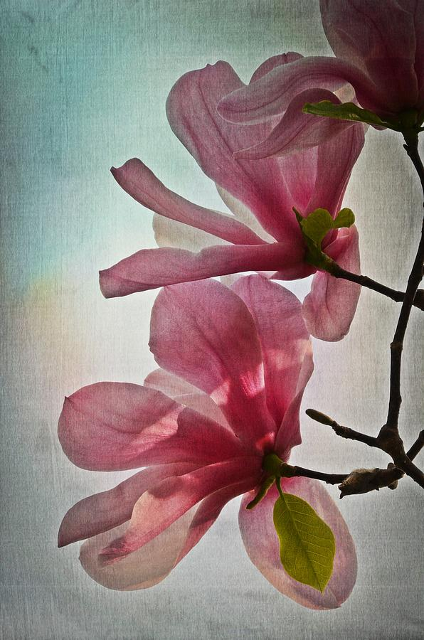 Magnolia Blossoms by Marianna Mills