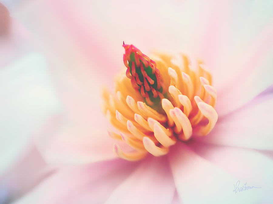 Macro Photography Photograph - Magnolia Crown by Kharisma Sommers