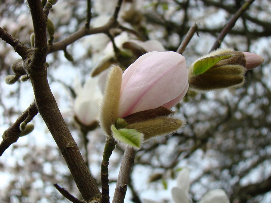 Magnolia Photograph - Magnolia Flower Pink White 19 Magnolia Tree Spring Art by Baslee Troutman