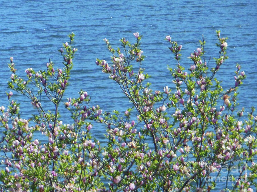 Tree Photograph - Magnolia Flowering Tree Blue Water by Rockin Docks Deluxephotos