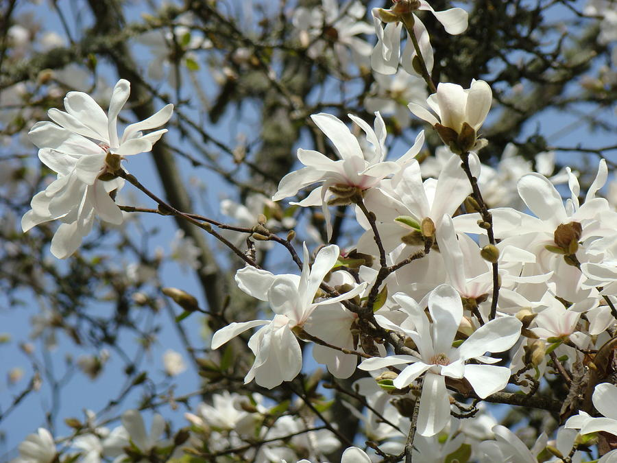 Magnolia Flowers White Magnolia Tree Flowers Art Prints Photograph
