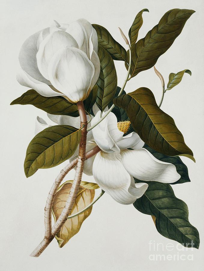 Magnolia Painting - Magnolia by Georg Dionysius Ehret
