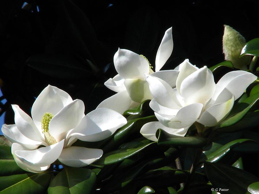 Patzer Photograph - Magnolia by Greg Patzer
