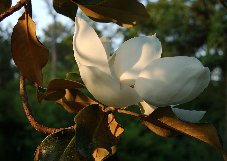 Magnolia Photograph - Magnolia by Heather S Huston