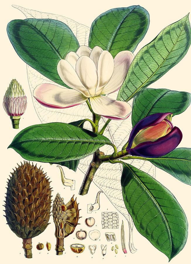 Magnolia Painting - Magnolia Hodgsonii by Joseph Dalton Hooker