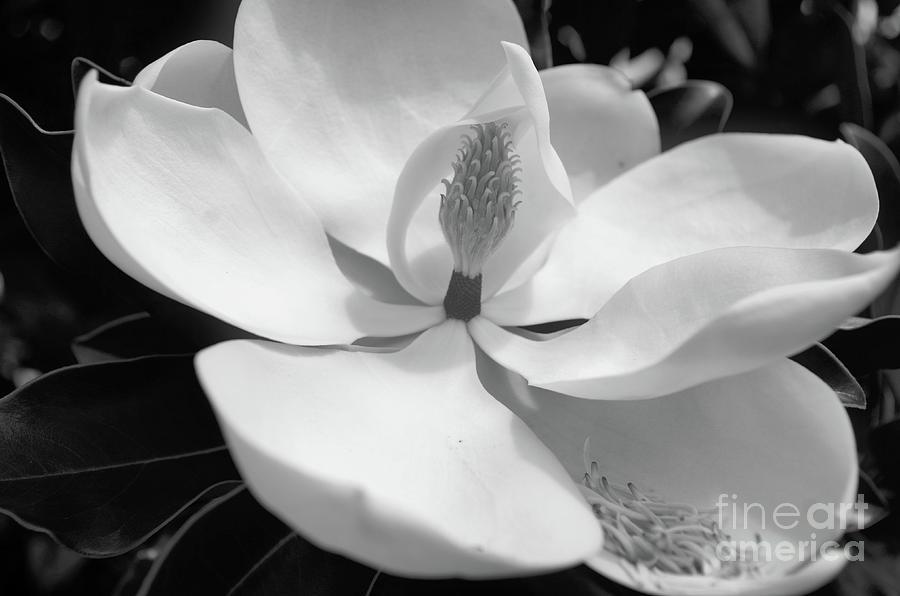 Magnolia In Black And White Photograph