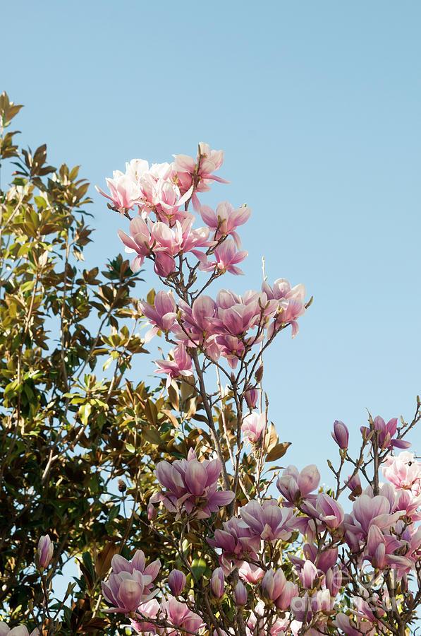 Magnolia Magnolia X Loebneri Merrill Flowers Photograph By Ilan