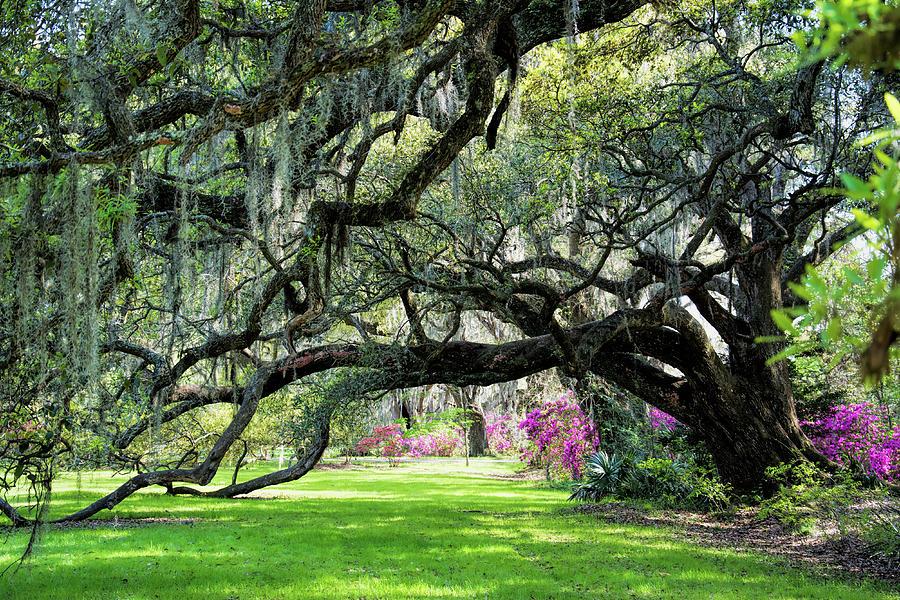 Magnolia Majesty by Ed Waldrop