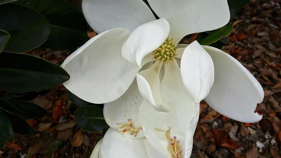 Magnolia by Matthew Bamberg