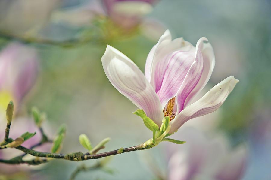 Magnolia Photograph - Magnolia by Nailia Schwarz