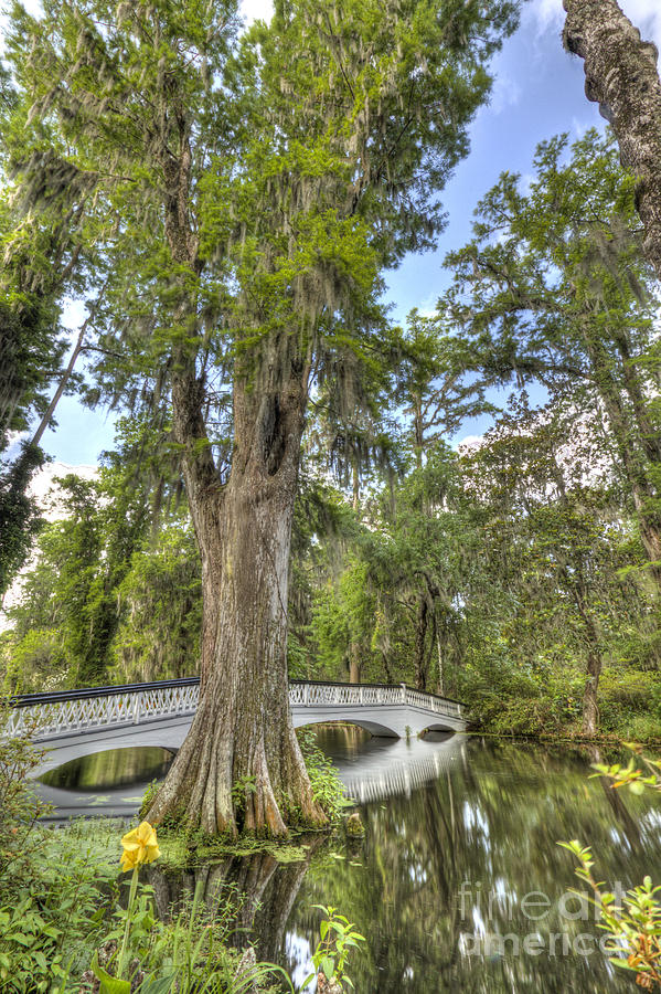 Magnolia Plantation Gardens Photograph - Magnolia Plantation Cypress Tree by Dustin K Ryan