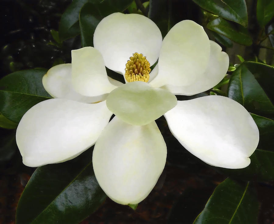 Magnolia Close Up by Sandi OReilly