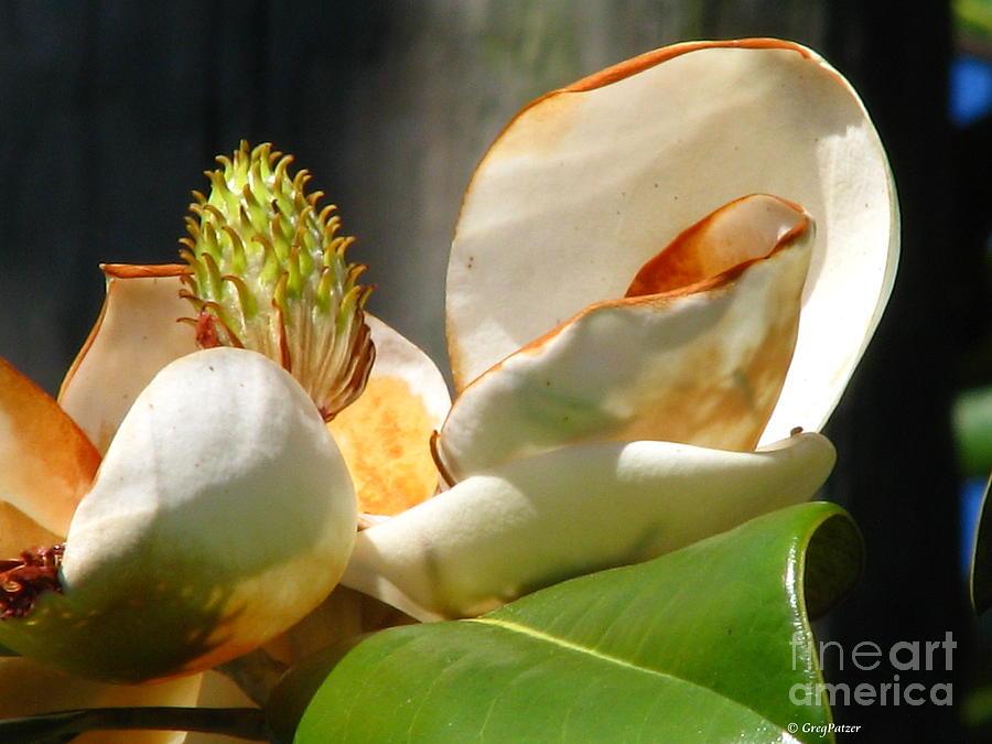 Patzer Photograph - Magnolia Sunburn by Greg Patzer