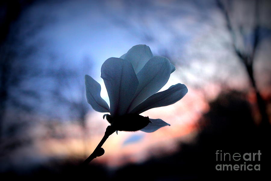Magnolia Sunset Photograph by Hanni Stoklosa