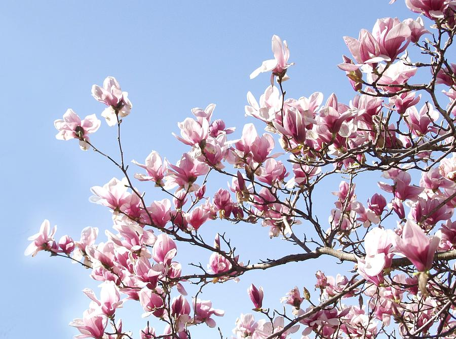 Magnolia Tree Against Blue Sky Photograph by Carol Sweetwood