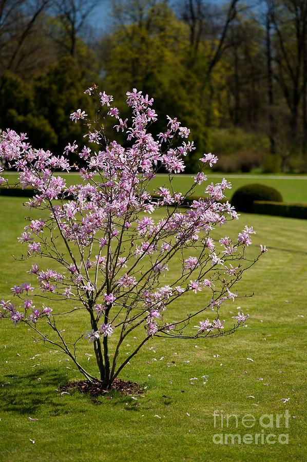 Magnolia Tree In Full Bloom Photograph By Arletta Cwalina