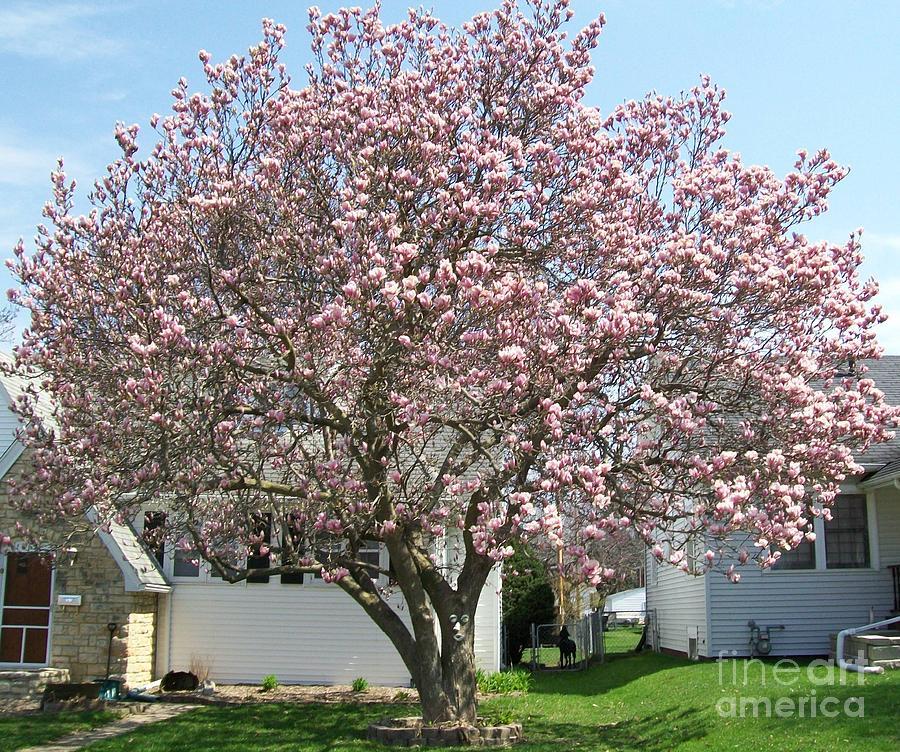 Magnolia Tree Photograph By Marsha Heiken
