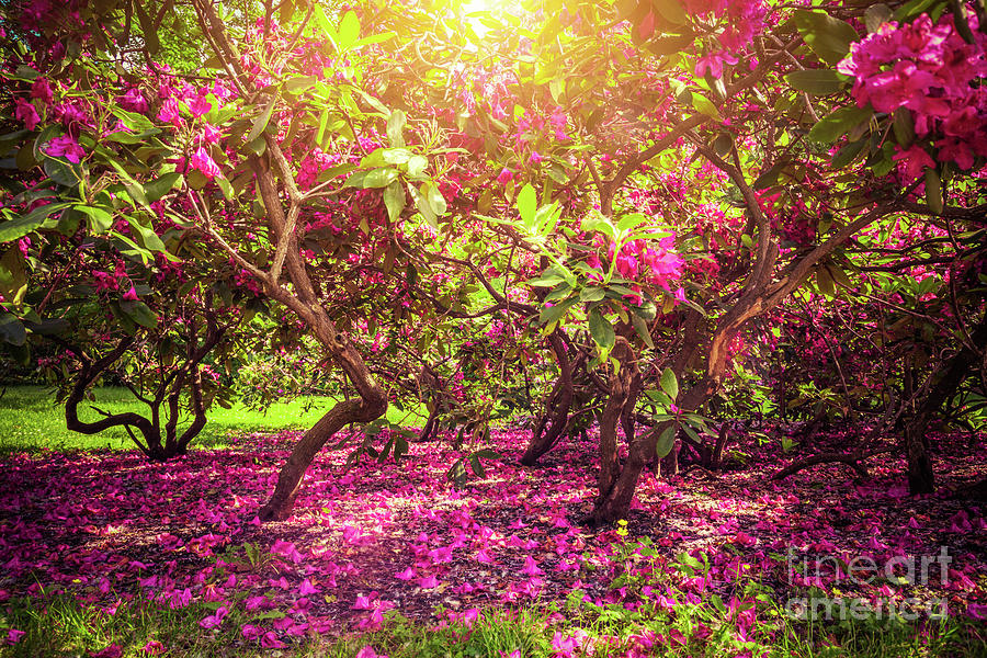 Magnolia Trees And Flowers In Park Sun Shining Romantic Mood