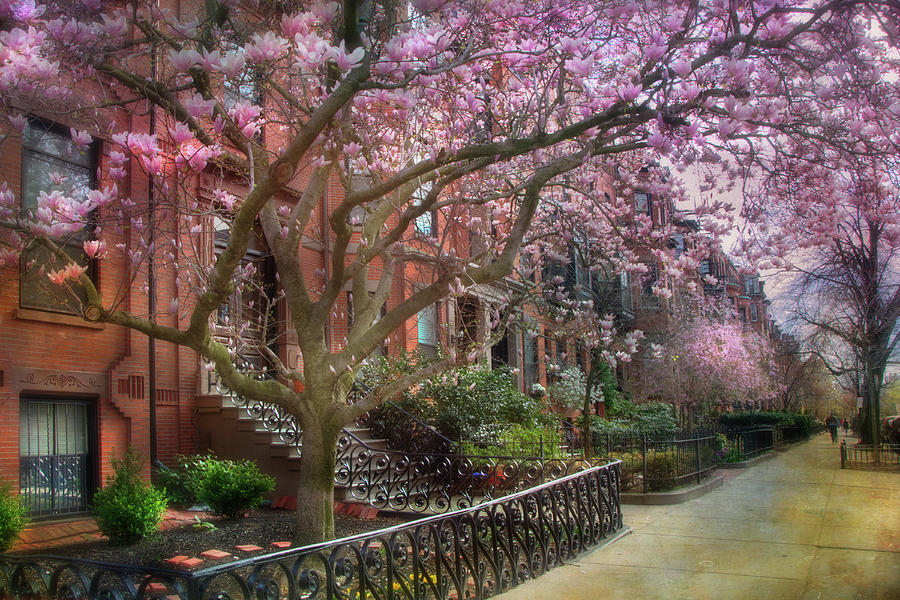 Magnolia Trees In Spring Back Bay Boston Photograph By Joann Vitali