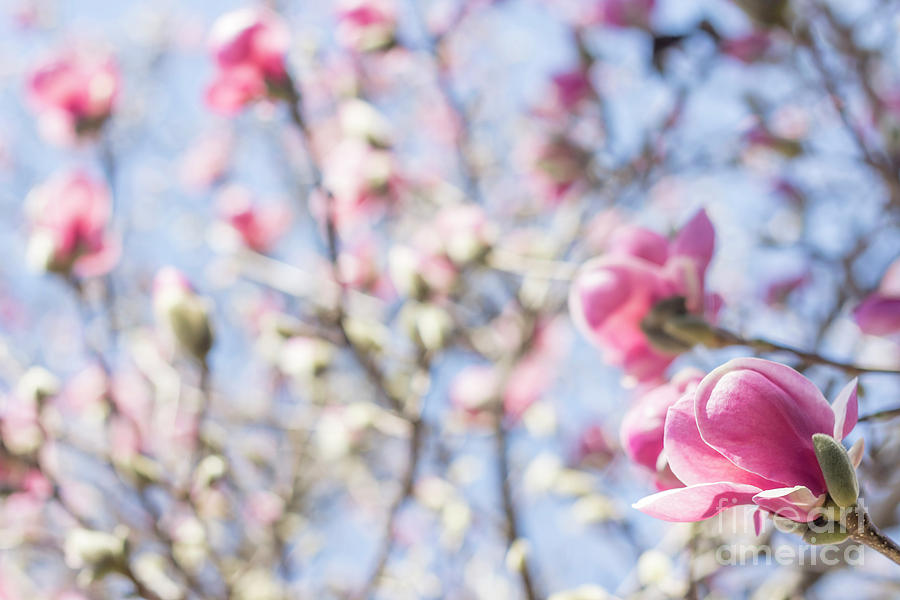Magnolia Tulip Tree Photograph By Ezume Images