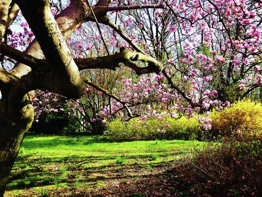 Spring Photograph - Magnolias And Forsythias by Susan Savad