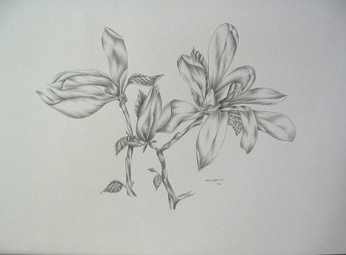 Flower Drawing - Magnolie II by Haike Espenhain