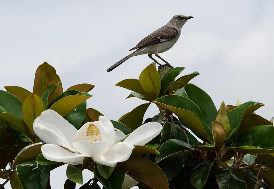 Magnolia Blooms And Mocking Birds Photograph - Magolia Bloom With Mocking Bird by Julie Cameron