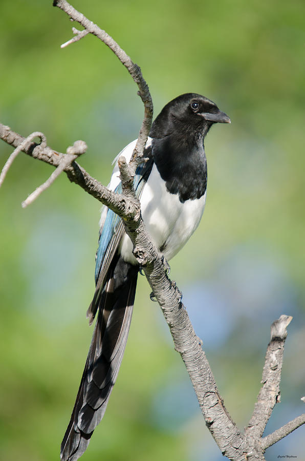 Magpie Photograph