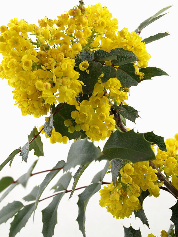 Bloom Photograph - Mahonia Blossom by Robert Gebbie