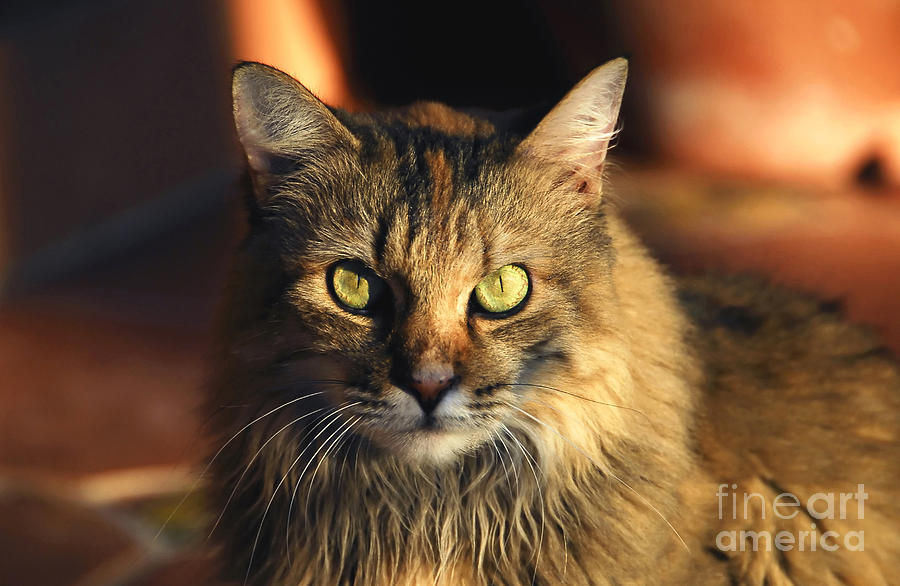 Cat Photograph - Main Coone by David Lee Thompson
