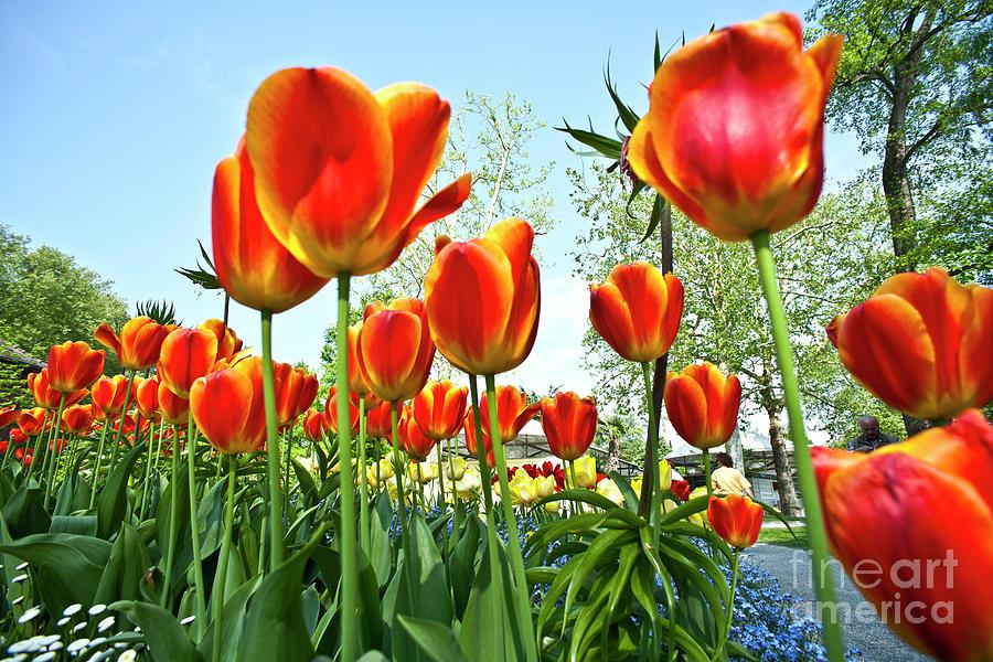 Mainau Tulip Field Photograph