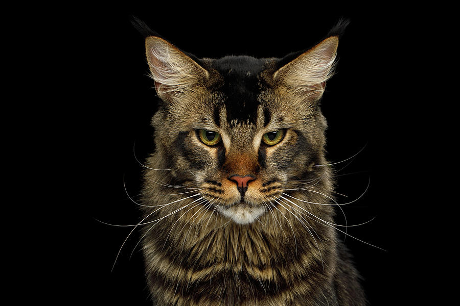 Maine Coon Cat by Sergey Taran