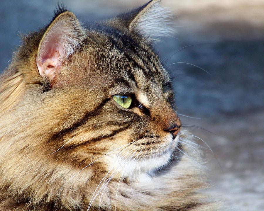 Cat Photograph - Maine Coon II by Jai Johnson